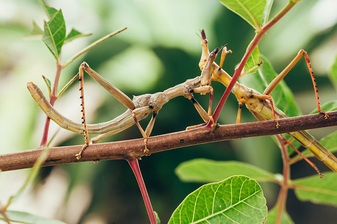 Stick Insect School Incursion WA